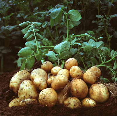 Irish potato farming